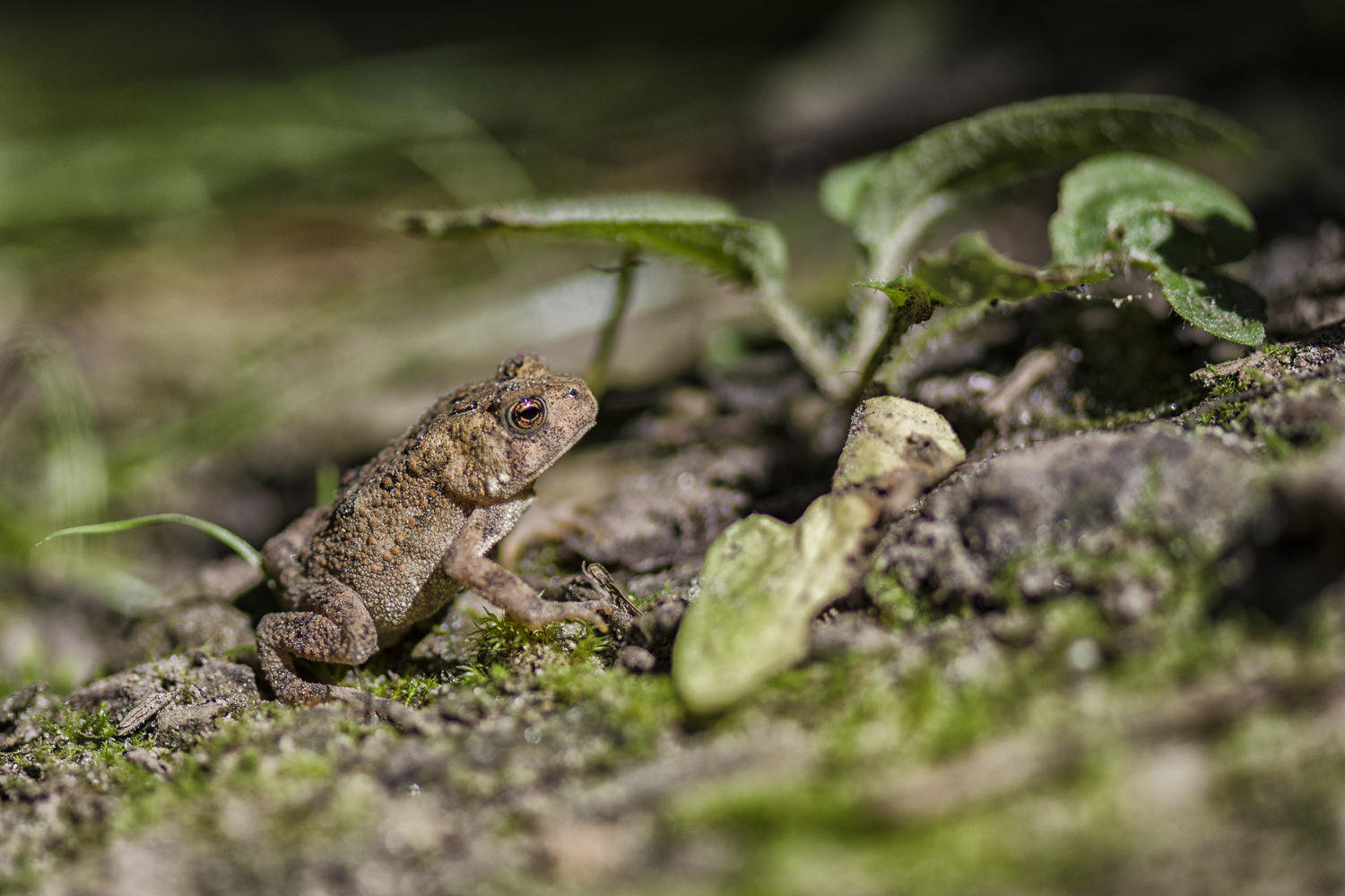 American Toad, Toadlet, Toad, Young