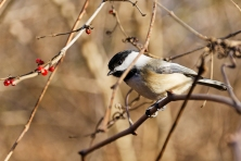Black, Capped, Chickadee