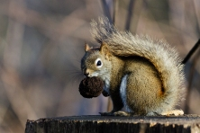 American, Red, Squirrel