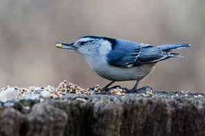 White, Breasted, Nuthatch