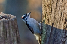 Downy, Woodpecker