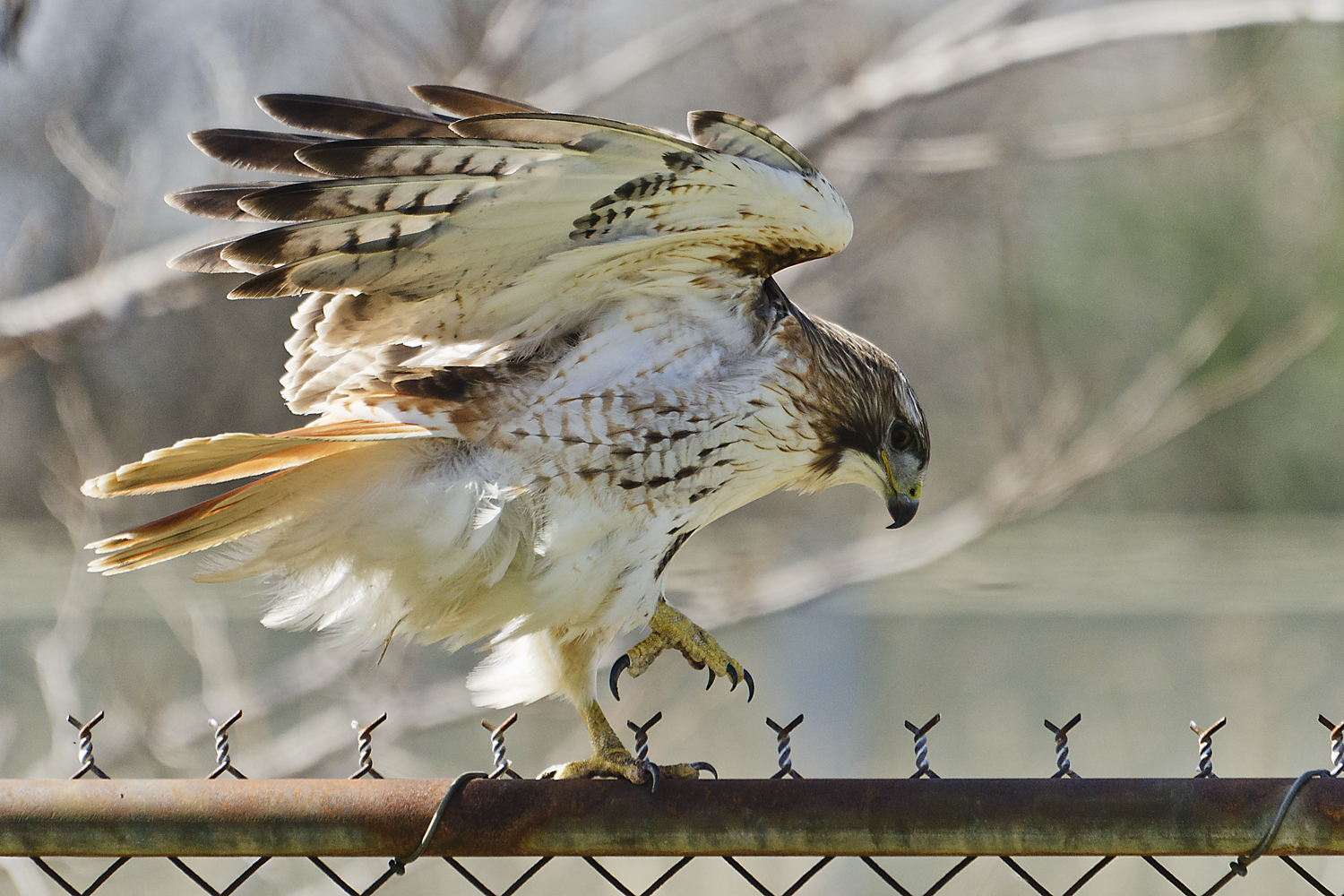 Hawk, Red, Tailed
