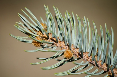 Conifer - detail