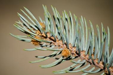 Conifer - detail