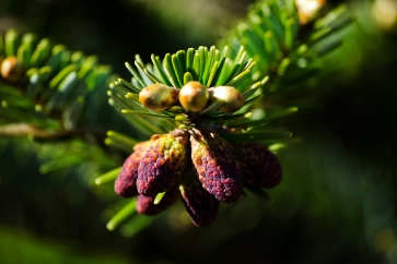 Conifer reproductive structure