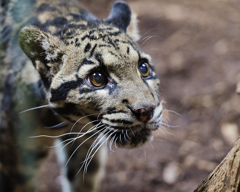 Clouded Leopard, Merriweather, Toronto Zoo