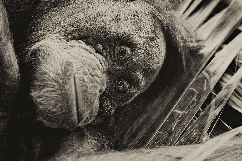 Orangutan, Toronto Zoo