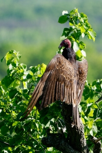 Turkey Vulture, Cathartes aura, Vulture