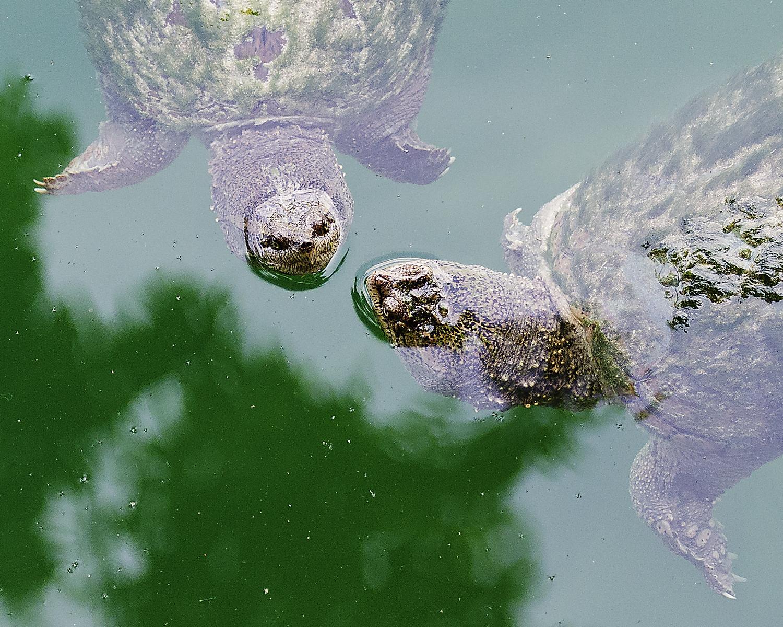 Snapping, Turtles, Turtle, Crawford, Lake