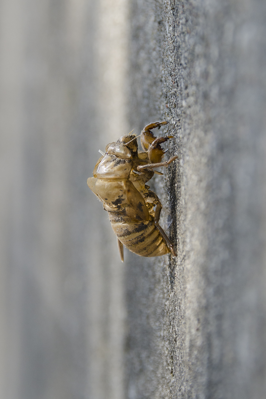 Cicada, exuviae