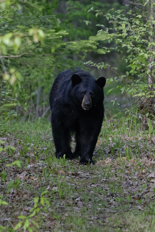 Black Bear, Bear, Ursus americanus