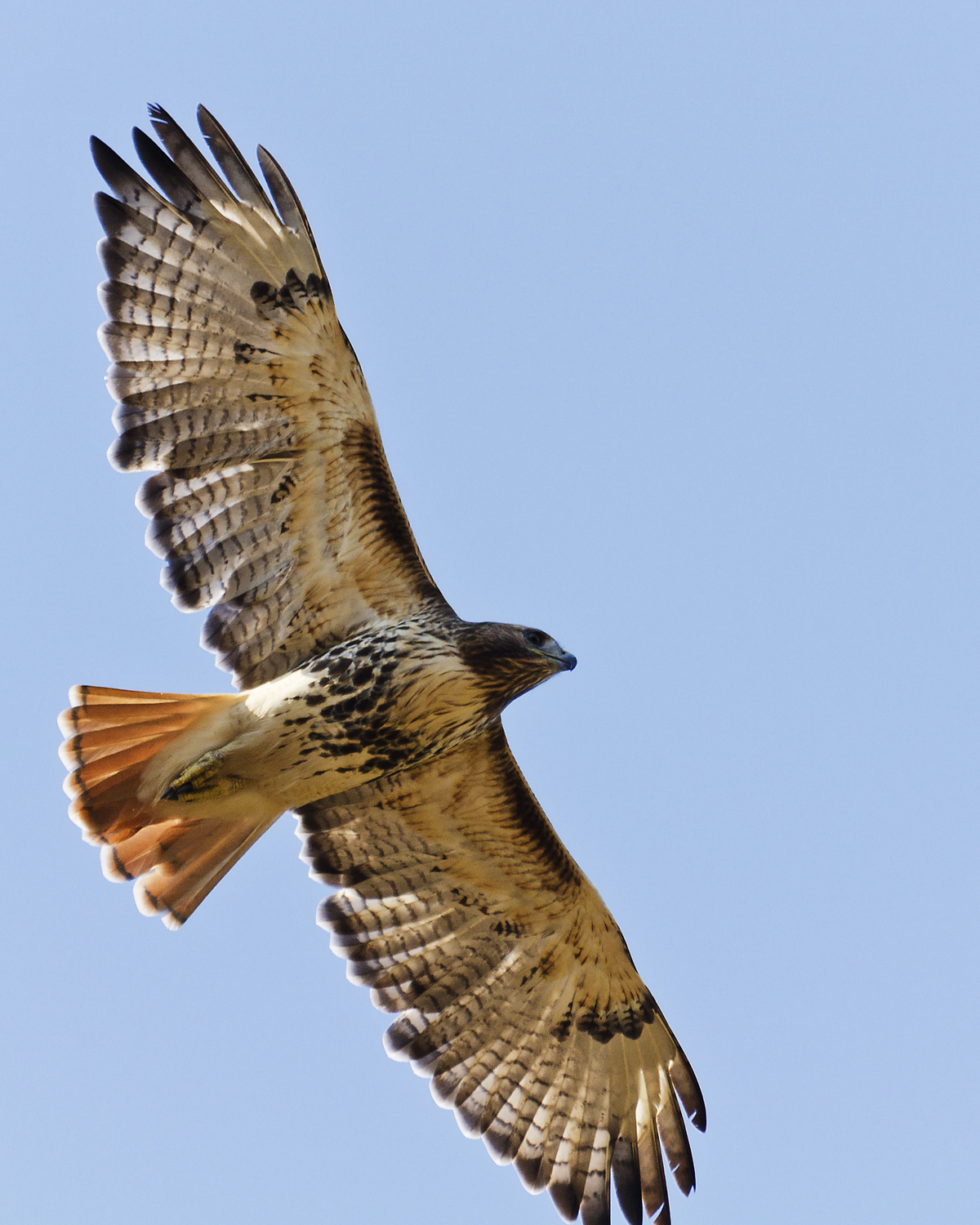 Red, Tailed, Hawk