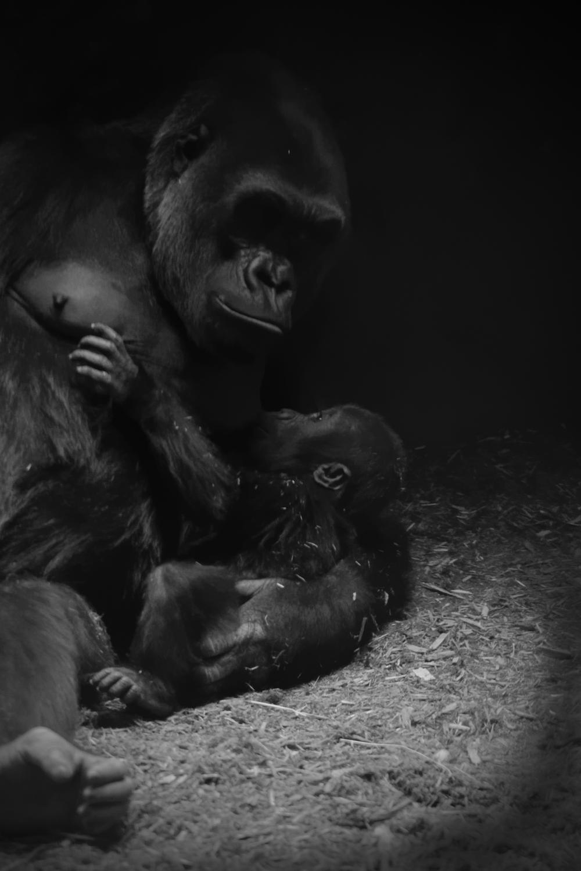 Gorilla gorilla, Gorilla